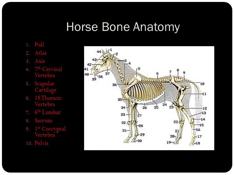 Horse Bone Anatomy. 1. Poll 2. Atlas 3. Axis 4. 7 th Cervical ...