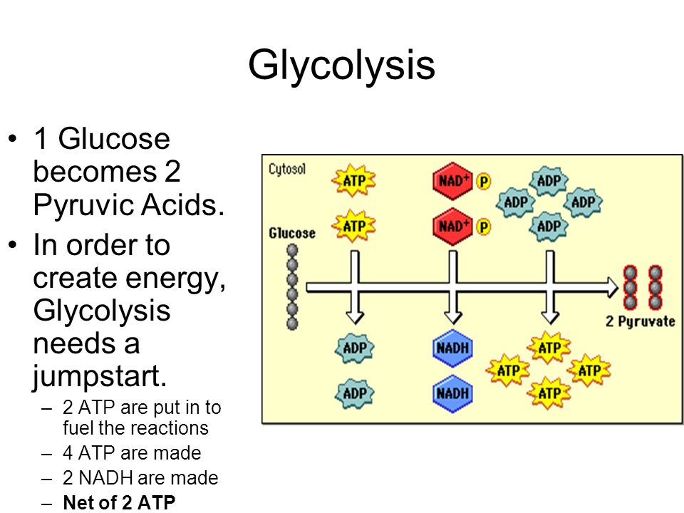 Glycolysis 1 Glucose becomes 2 Pyruvic Acids.