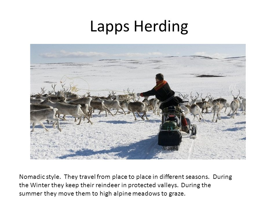 Lapps Herding Nomadic style. They travel from place to place in different seasons.