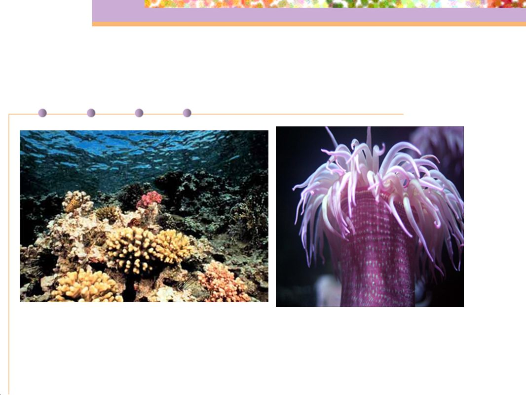 Chapter 26 Sponges Cnidarians And Unsegmented Worms Ppt Download The Muscles Organs Diagram Of A Sea Anemone Look From Inside Certain Fish Shrimp Other Small Animals Live Among Tentacles Large Anemones Corals Reefs Provide Shelter For Thousands Species