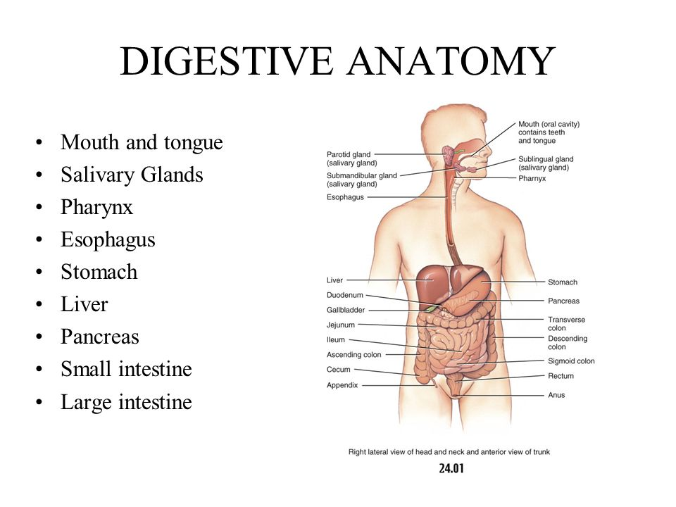 DIGESTIVE SYSTEM Anatomy and Physiology of the Digestive Tract ...