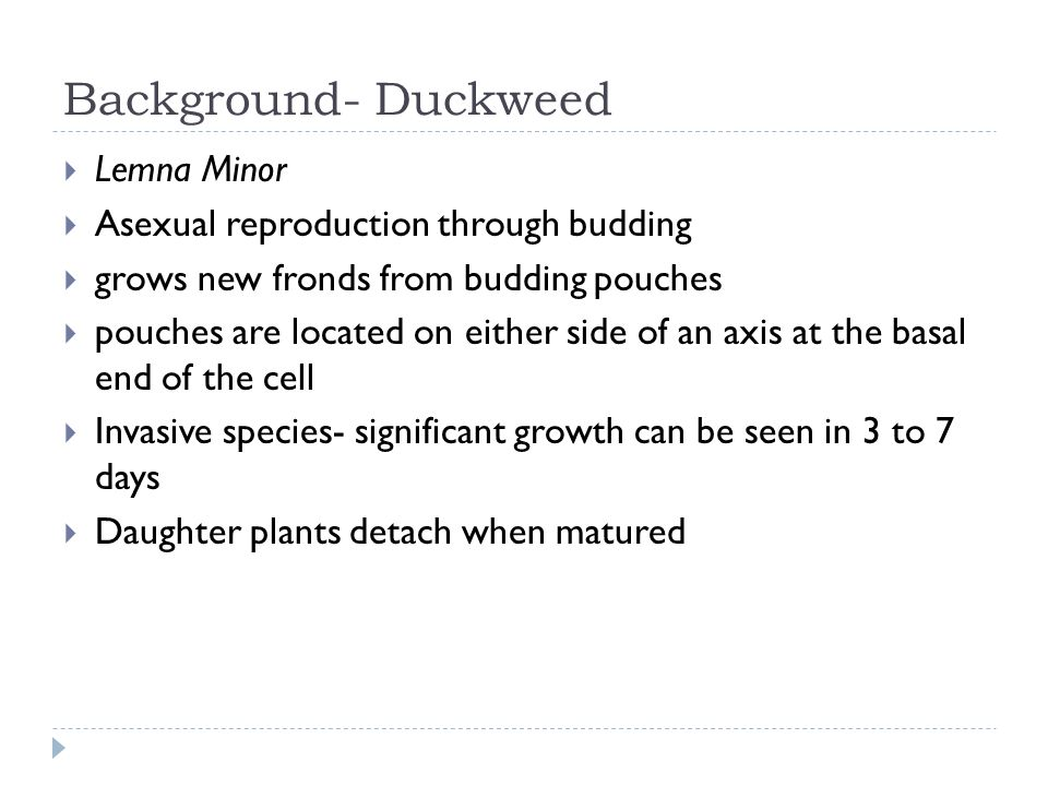 Duckweed asexual reproduction