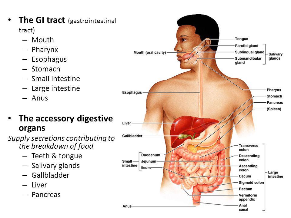 Digestive System Dr Malak Qattan 2 The Gi Tract Gastrointestinal