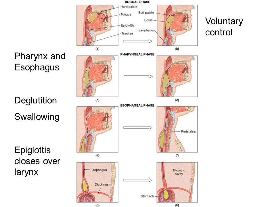 Pharynx and Esophagus Deglutition Swallowing Epiglottis closes over larynx Voluntary control