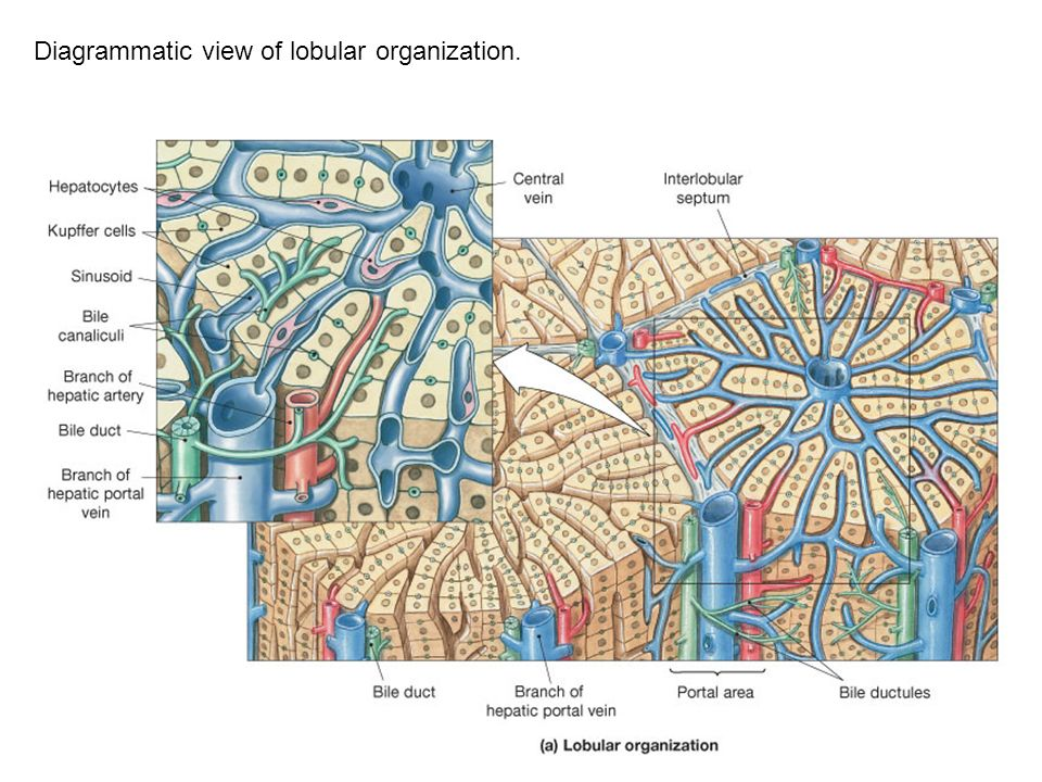 Diagrammatic view of lobular organization.