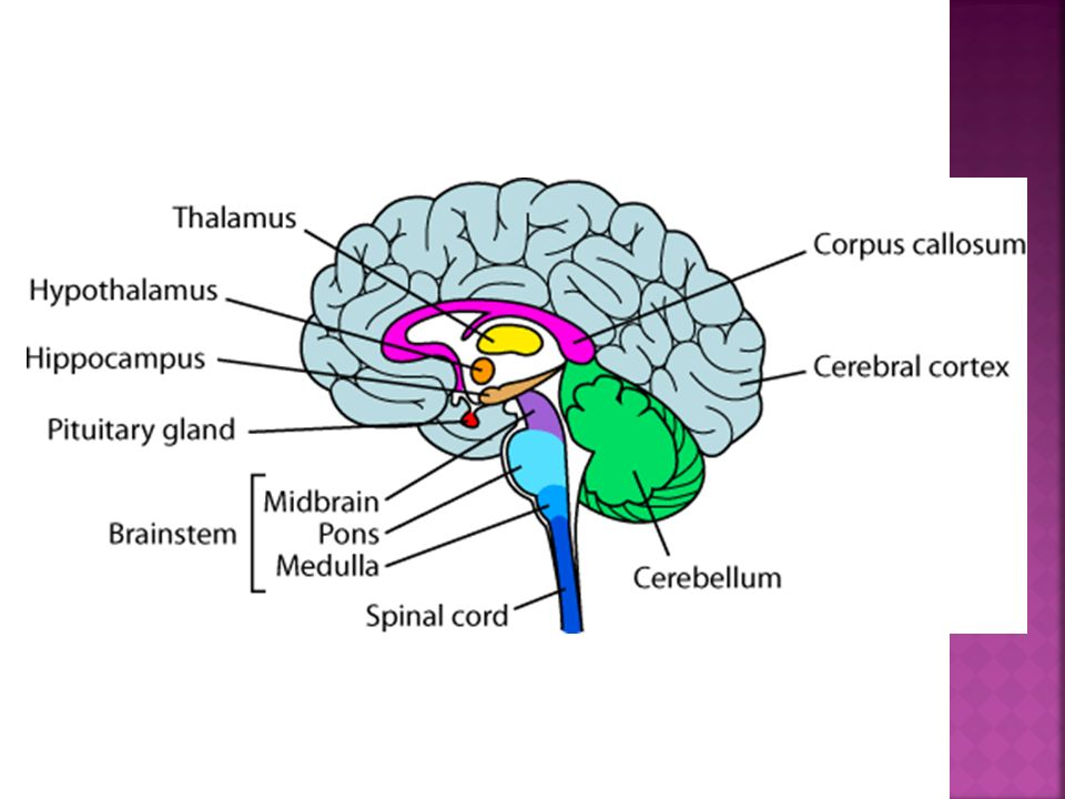 The Brain The Four Major Parts Of The Brain In Order Of Highest To