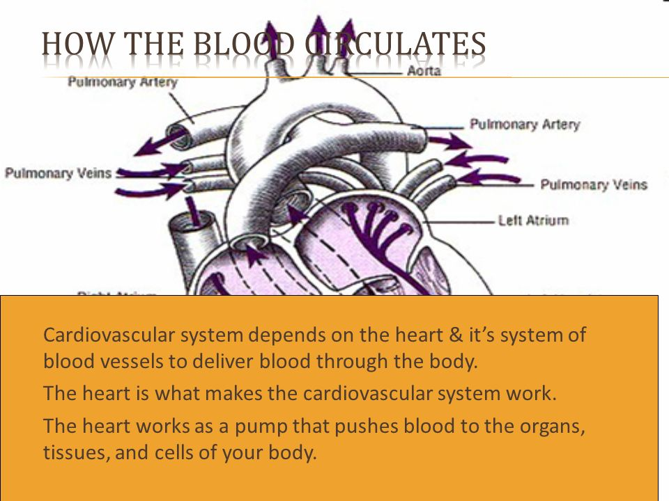  Cardiovascular system depends on the heart & it's system of blood vessels to deliver blood through the body.