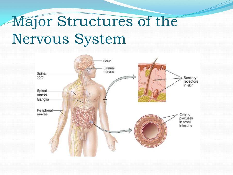 Anatomy Physiology Nervous Tissue Homeostasis Excitable