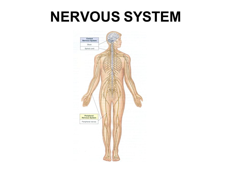 NERVOUS SYSTEM TOXICOLOGY. OUTLINE Nervous system development ...