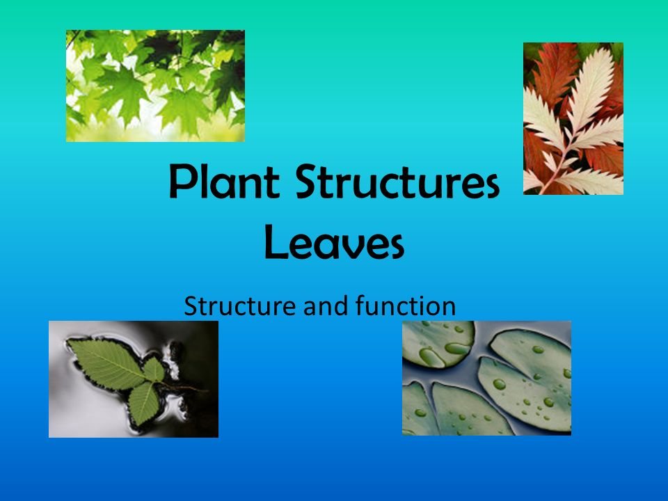 Plant Structures Leaves Structure and function