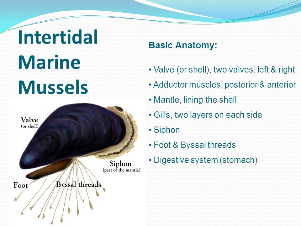 Day 1: Introduction to mussels Day 2: Mussel dissection and data ...
