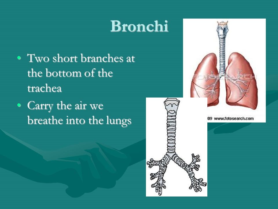 Bronchi Two short branches at the bottom of the tracheaTwo short branches at the bottom of the trachea Carry the air we breathe into the lungsCarry the air we breathe into the lungs