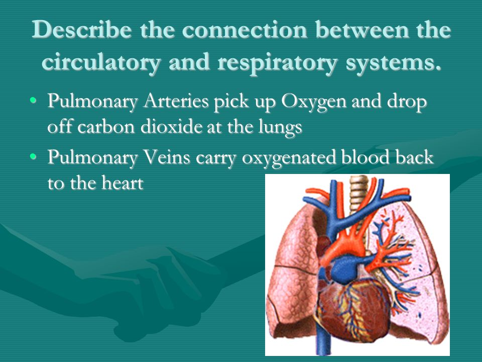 Describe the connection between the circulatory and respiratory systems.