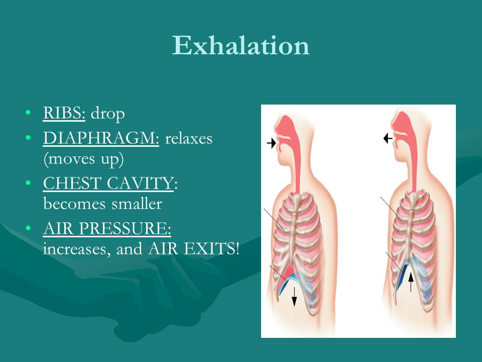 Exhalation RIBS: drop DIAPHRAGM: relaxes (moves up) CHEST CAVITY: becomes smaller AIR PRESSURE: increases, and AIR EXITS!