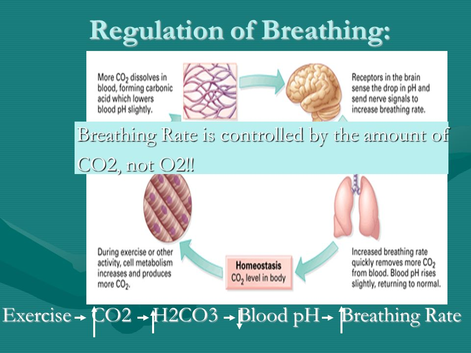 Regulation of Breathing: Exercise CO2 H2CO3 Blood pH Breathing Rate Breathing Rate is controlled by the amount of CO2, not O2!!