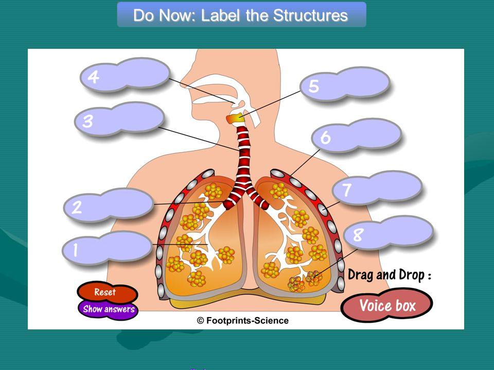 Do Now: Label the Structures The Lungs – Drag & Drop