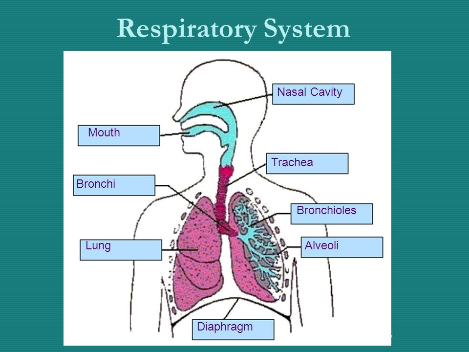 7 Respiratory System Nasal Cavity Trachea Bronchioles Alveoli Diaphragm Lung Bronchi Mouth