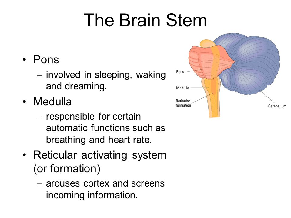 The Brain Stem Pons –involved in sleeping, waking and dreaming.