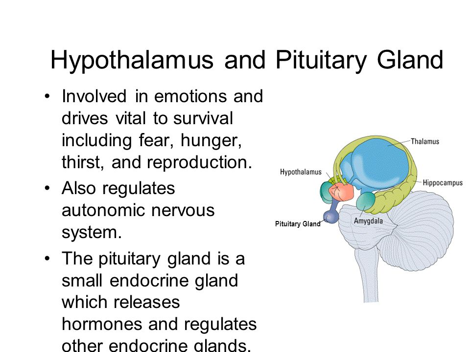 Hypothalamus and Pituitary Gland Involved in emotions and drives vital to survival including fear, hunger, thirst, and reproduction.