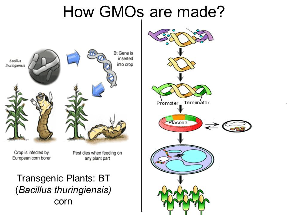 diagram of how gmos are made wiring diagrams thumbs Genetically Modified Organism diagram of how gmos are made wiring diagram world map with countries cloning its applications \\