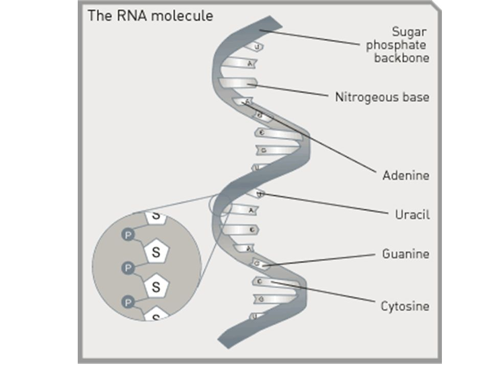 Genetic Information Dna Rna To Protein Ppt Video Online Download