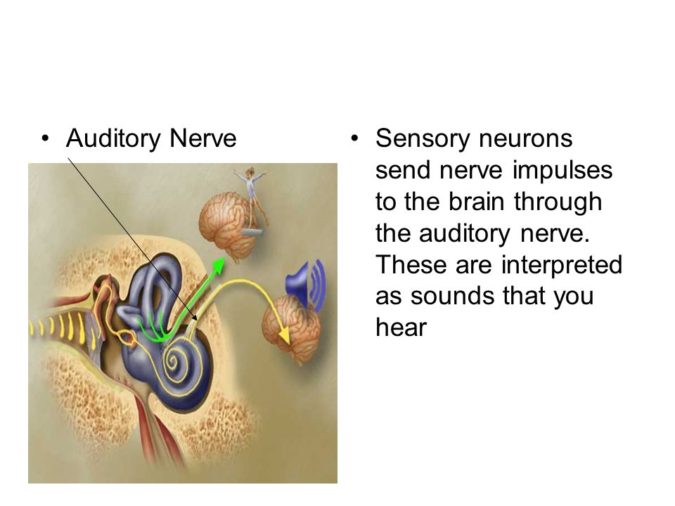 Auditory NerveSensory neurons send nerve impulses to the brain through the auditory nerve.
