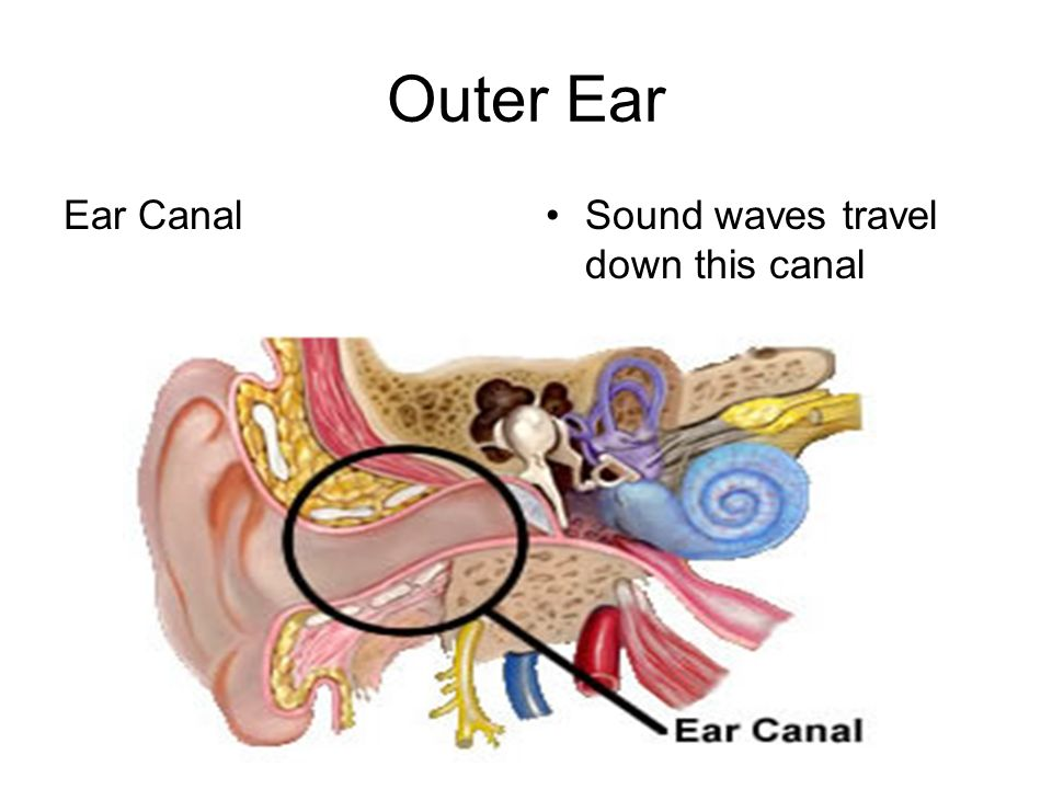 Outer Ear Ear CanalSound waves travel down this canal