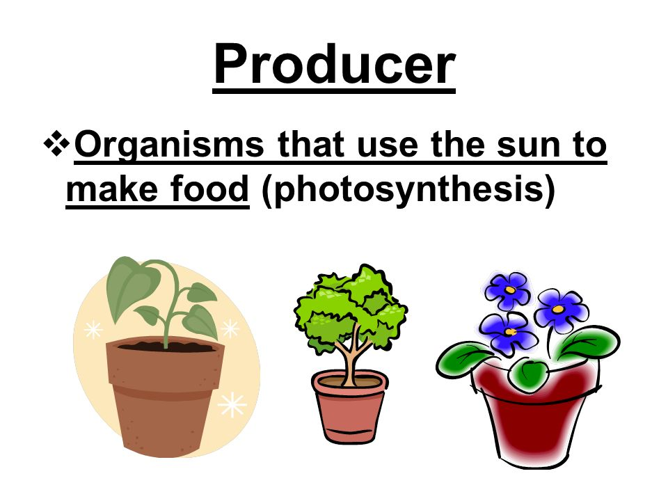 Producer  Organisms that use the sun to make food (photosynthesis)