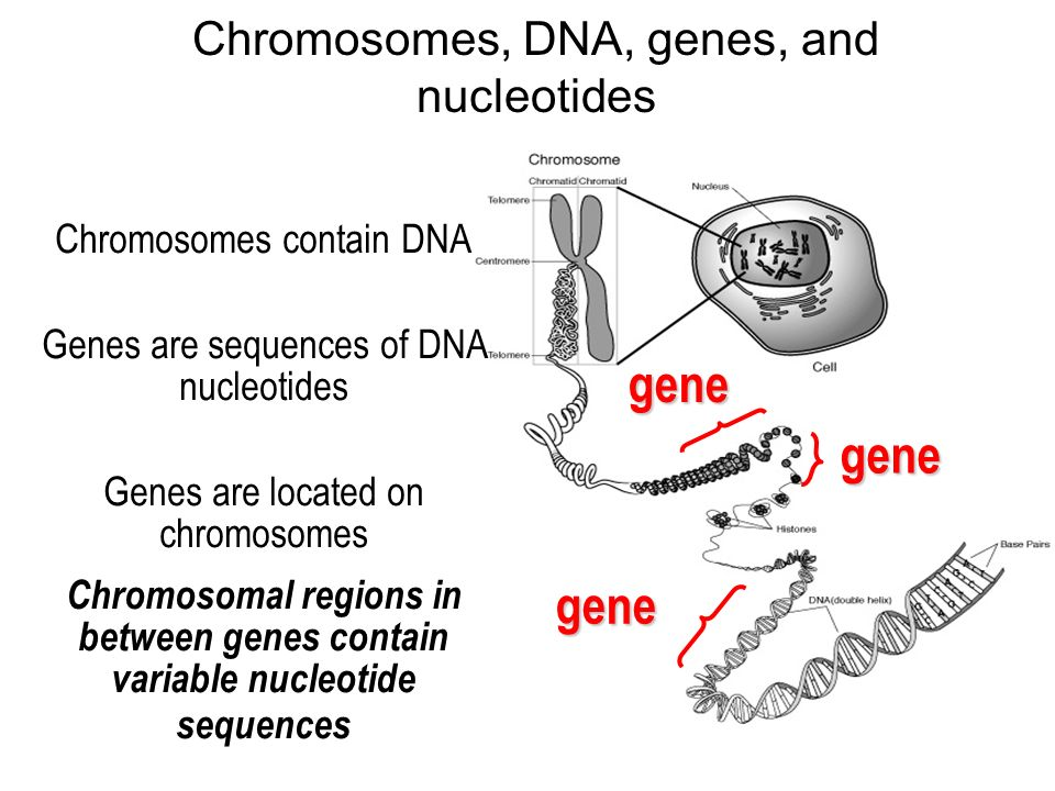 5 chromosomes, dna, genes, and nucleotidesgenegenegene chromosomes contain dna  genes are sequences of dna nucleotides genes are located on chromosomes