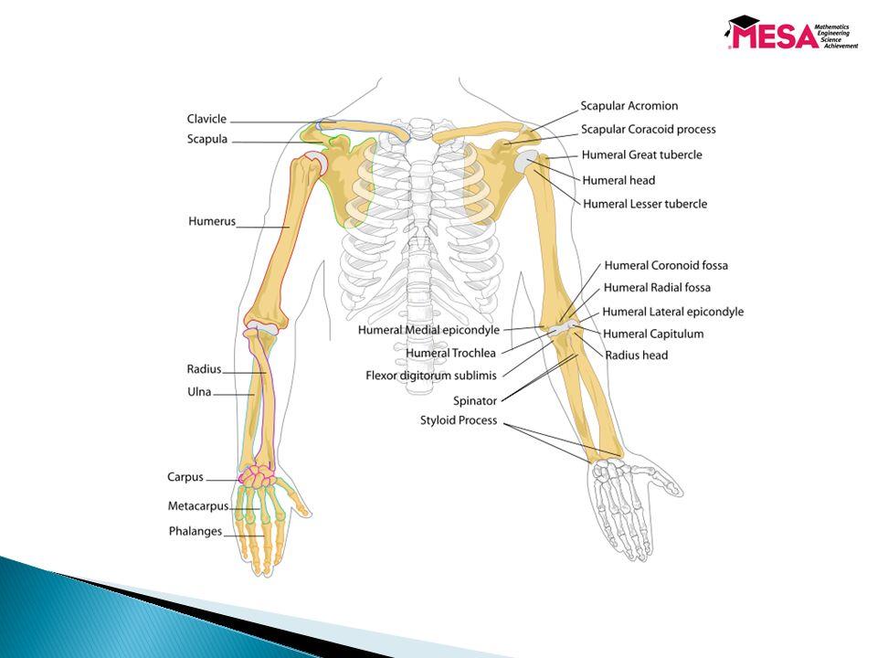 Senior MESA Day.  Overview of the Human Arm Anatomy ◦ Bones ...