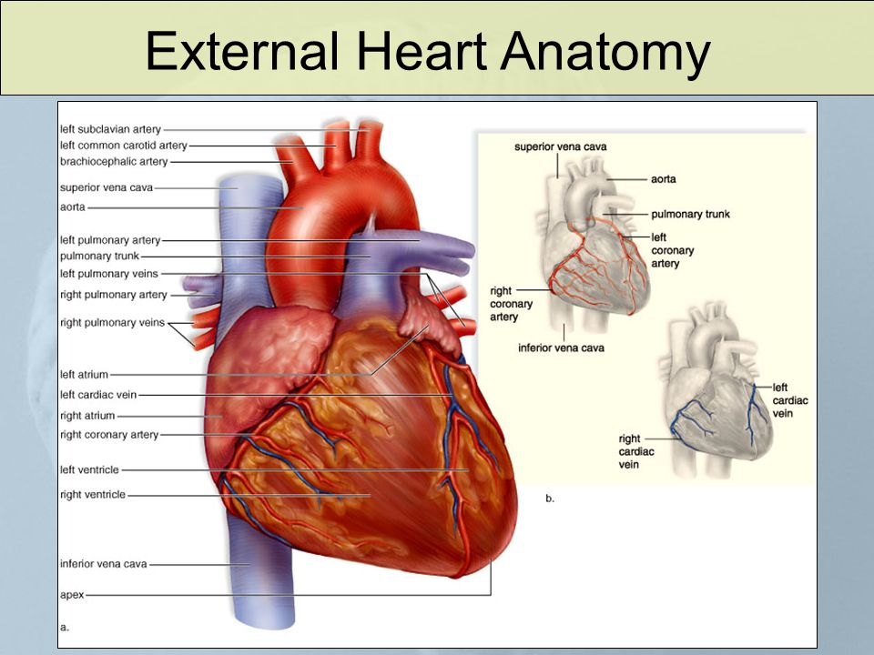 Human Body Cardiovascular System Closed Vs Open Circulatory