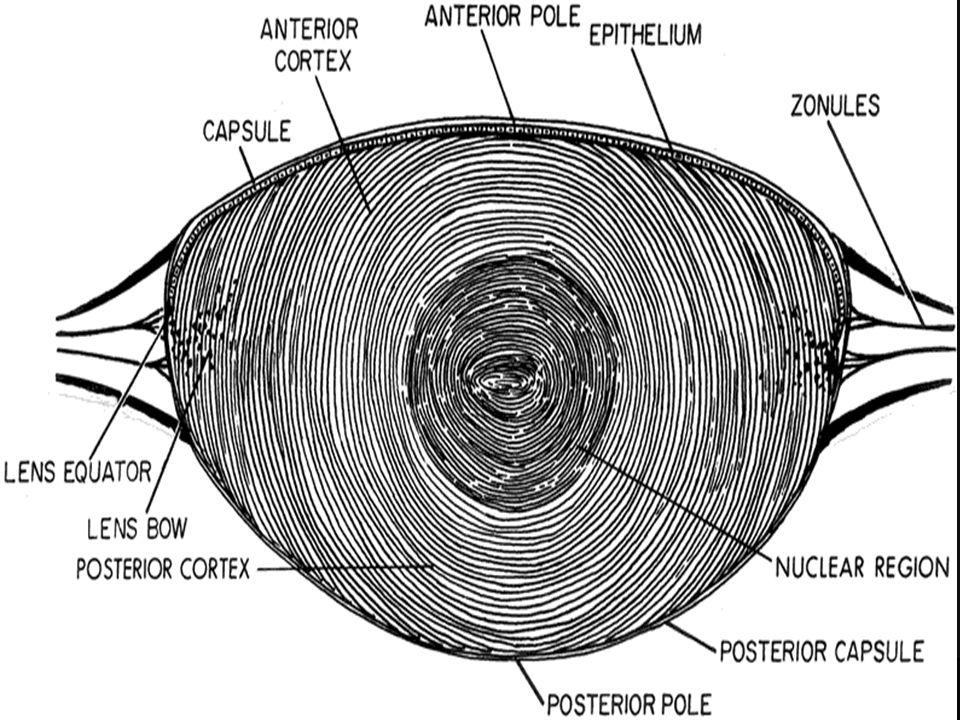 ANATOMY OF THE LENS Gross Anatomy The lens is an intraocular ...