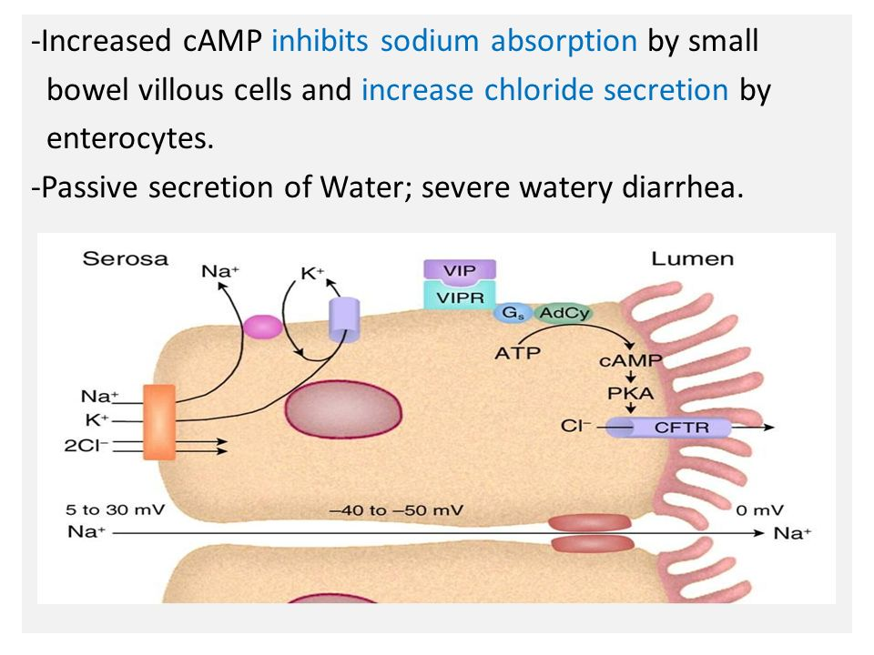 N -Increased cAMP inhibits sodium absorption by small bowel villous cells and increase chloride secretion by enterocytes.