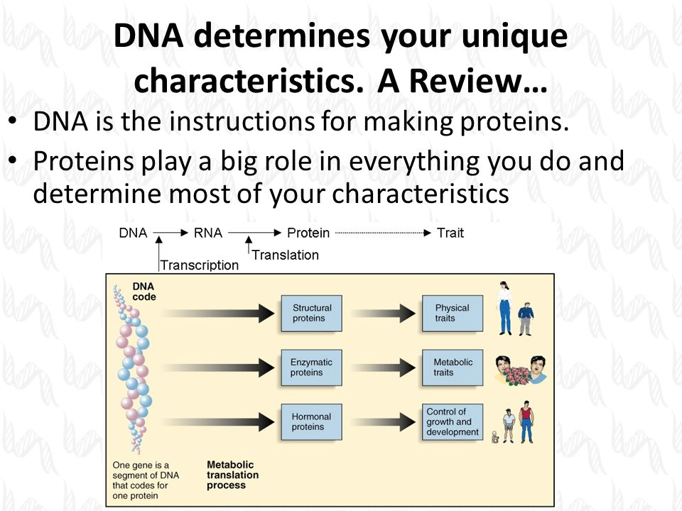 GENE TO PROTEIN Transcription and Translation  DNA
