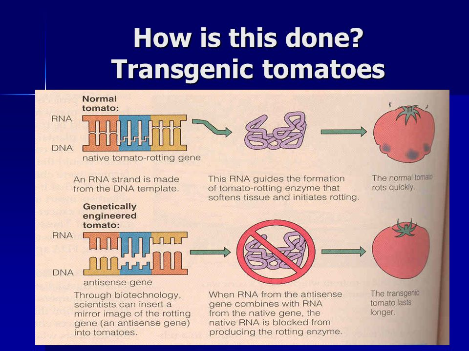 How is this done Transgenic tomatoes