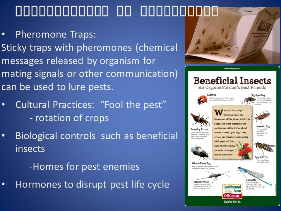 Pheromone Traps: Sticky traps with pheromones (chemical messages released by organism for mating signals or other communication) can be used to lure pests.
