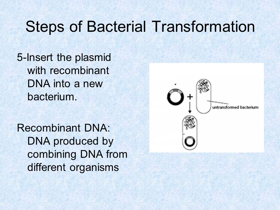 Steps of Bacterial Transformation 5-Insert the plasmid with recombinant DNA into a new bacterium.