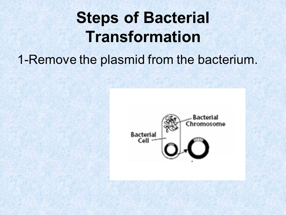 Steps of Bacterial Transformation 1-Remove the plasmid from the bacterium.
