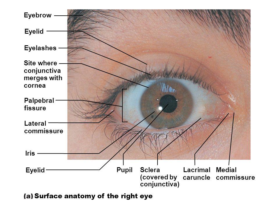 Vision. Special Senses  Special sensory receptors  Distinct ...