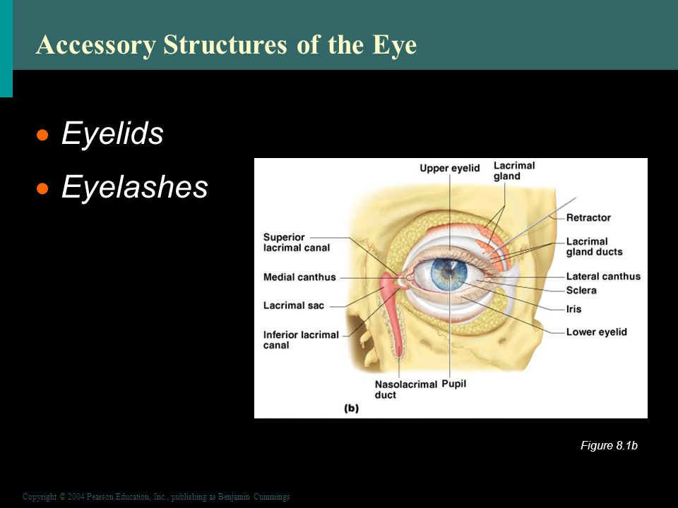 Copyright © 2004 Pearson Education, Inc., publishing as Benjamin Cummings Accessory Structures of the Eye  Eyelids  Eyelashes Figure 8.1b