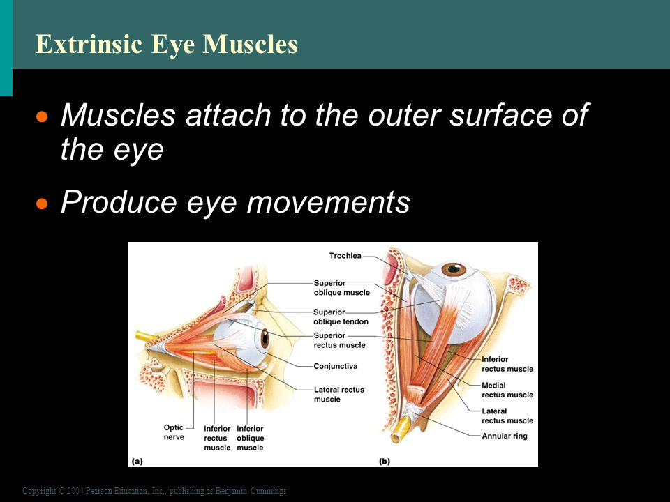 Copyright © 2004 Pearson Education, Inc., publishing as Benjamin Cummings Extrinsic Eye Muscles  Muscles attach to the outer surface of the eye  Produce eye movements Figure 8.2