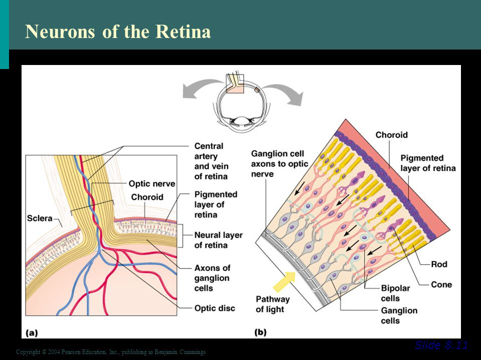 Copyright © 2004 Pearson Education, Inc., publishing as Benjamin Cummings Neurons of the Retina Slide 8.11