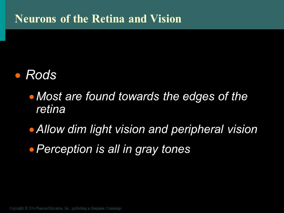 Copyright © 2004 Pearson Education, Inc., publishing as Benjamin Cummings Neurons of the Retina and Vision  Rods  Most are found towards the edges of the retina  Allow dim light vision and peripheral vision  Perception is all in gray tones