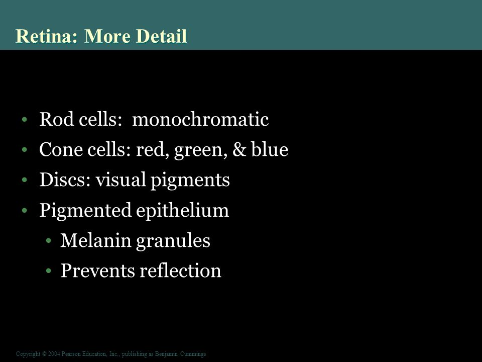 Copyright © 2004 Pearson Education, Inc., publishing as Benjamin Cummings Rod cells: monochromatic Cone cells: red, green, & blue Discs: visual pigments Pigmented epithelium Melanin granules Prevents reflection Retina: More Detail
