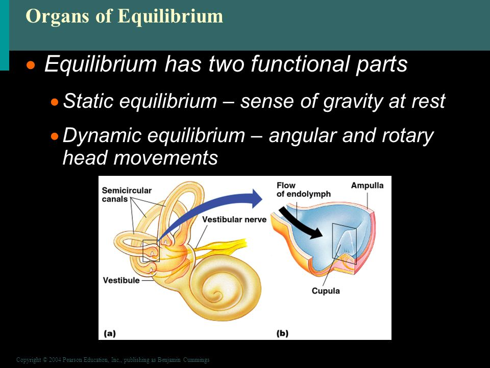 Copyright © 2004 Pearson Education, Inc., publishing as Benjamin Cummings Organs of Equilibrium  Equilibrium has two functional parts  Static equilibrium – sense of gravity at rest  Dynamic equilibrium – angular and rotary head movements Figure 8.16a, b