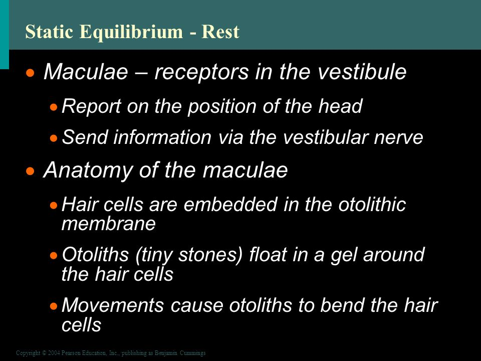 Copyright © 2004 Pearson Education, Inc., publishing as Benjamin Cummings Static Equilibrium - Rest  Maculae – receptors in the vestibule  Report on the position of the head  Send information via the vestibular nerve  Anatomy of the maculae  Hair cells are embedded in the otolithic membrane  Otoliths (tiny stones) float in a gel around the hair cells  Movements cause otoliths to bend the hair cells