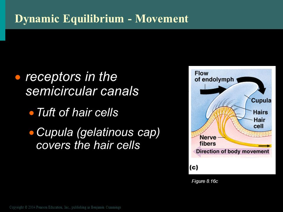 Copyright © 2004 Pearson Education, Inc., publishing as Benjamin Cummings Dynamic Equilibrium - Movement  receptors in the semicircular canals  Tuft of hair cells  Cupula (gelatinous cap) covers the hair cells Figure 8.16c
