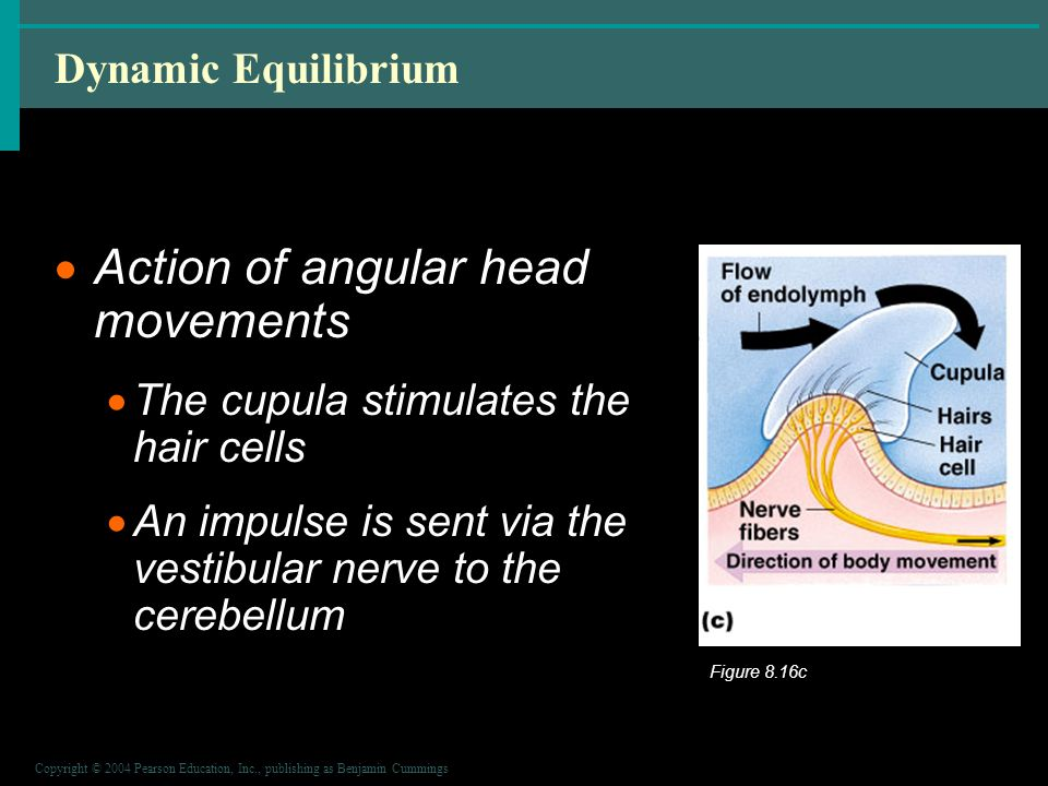 Copyright © 2004 Pearson Education, Inc., publishing as Benjamin Cummings Dynamic Equilibrium  Action of angular head movements  The cupula stimulates the hair cells  An impulse is sent via the vestibular nerve to the cerebellum Figure 8.16c
