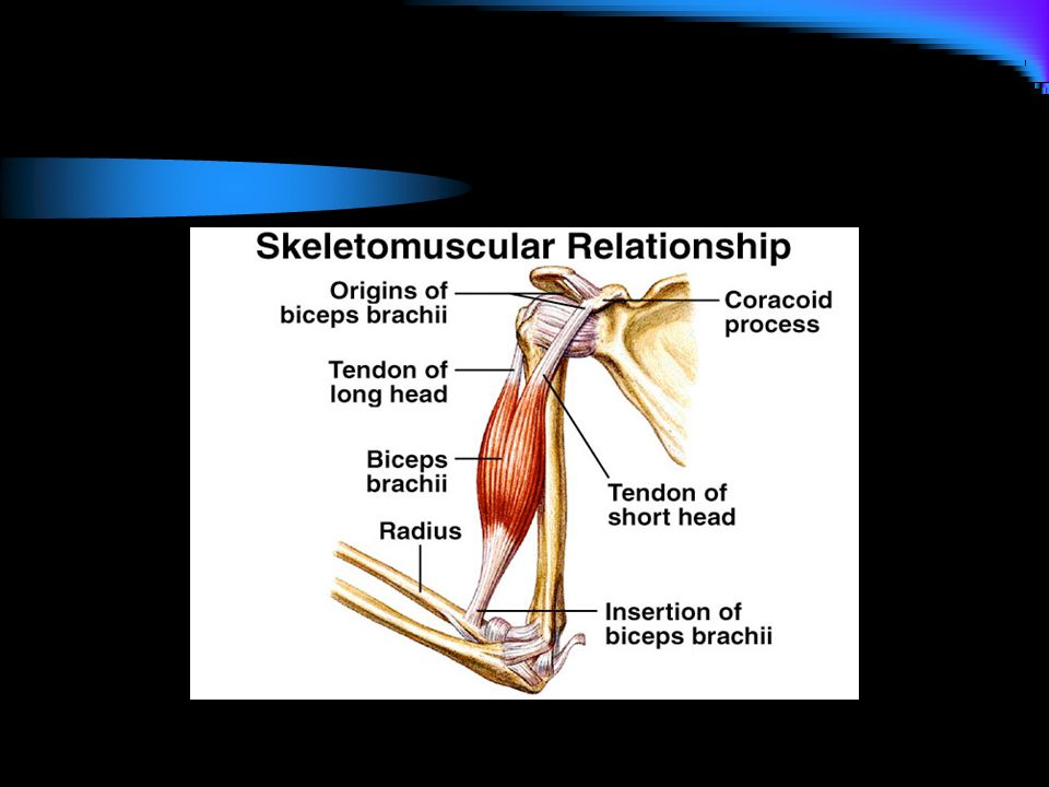 Muscles of the Human Body - ppt download