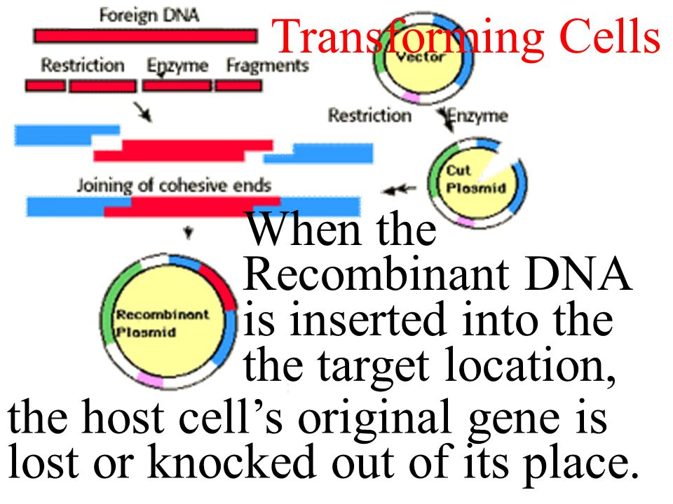 Creating Recombinant DNA When the Recombinant DNA is inserted into the the target location, the host cell's original gene is lost or knocked out of its place.